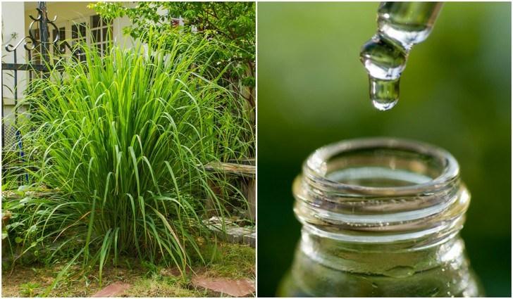 Planta y aceite de citronela